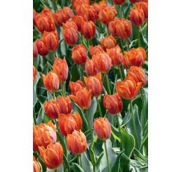 Tulipa ´Fire Queen´ / Tulipán, bal. 5 ks, 11/12