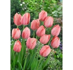 Tulipa ´Salmon Van Eijk´ / Tulipán, bal.5 ks, 12+