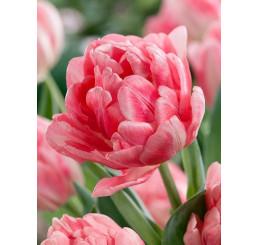 Tulipa ´Foxtrot´ / Tulipán, bal.5 ks, 11/12