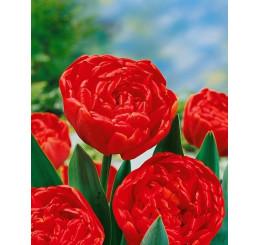 Tulipa ´Miranda´ / Tulipán, bal.5 ks, 11/12