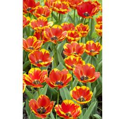 Tulipa ´Banja Luka´ / Tulipán, bal. 5 ks, 11/12