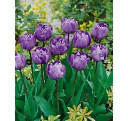 Tulipa ´Blue Diamond´ / Tulipán, bal. 5 ks, 11/12