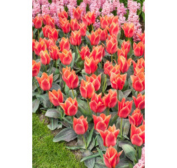 Tulipa ´Calypso´ / Tulipán, bal. 5 ks, 11/12