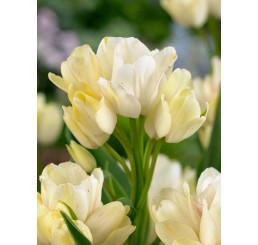 Tulipa ´Candy Club´ / Tulipán, bal. 5 ks, 11/12