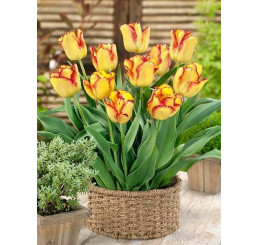 Tulipa ´Cape Town´ / Tulipán,  bal. 5 ks, 11/12