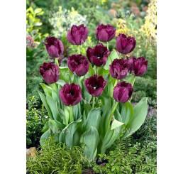Tulipa ´Curly Sue´ / Tulipán, bal. 5 ks, 11/12