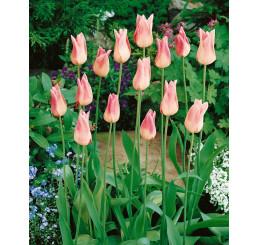 Tulipa ´Elegant Lady´ / Tulipán, bal. 5 ks, 11/12
