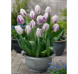 Tulipa ´Flaming Flag´ / Tulipán, bal. 5 ks, 11/12