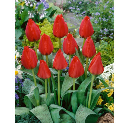 Tulipa ´Grand Prestige´ / Tulipán, bal. 5 ks, 11/12