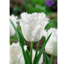 Tulipa ´Honeymoon´ / Tulipán, bal.5 ks, 11/12