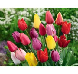 Směs Triumph tulipánů, bal. 20 ks, 11/12
