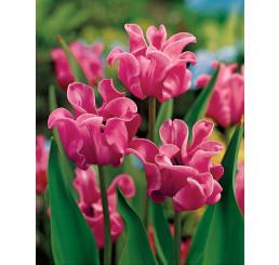 Tulipa ´Picture´ / Tulipán, bal. 5 ks, 11/12