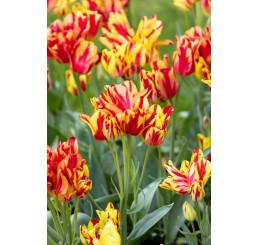 Tulipa ´Wonder Club ´ / Tulipán, bal.5 ks, 11/12
