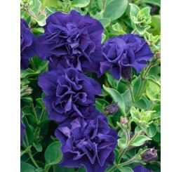 Petunia x atkinsiana ´Tumbelina® Belinda´ / Petunie plnokvětá modrofialová, bal. 3 ks, 3x K7