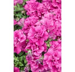Petunia x atkinsiana ´Tumbelina® Francesca´ / Petunie plnokvětá růžová, bal. 3 ks, 3x K7