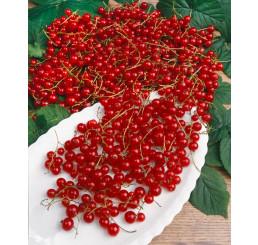 Ribes rubrum ´Jonkher Van Tets´ / Rybíz červený, keř, C1,5