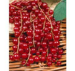 Ribes rubrum ´Jonkher Van Tets´ / Rybíz červený, stromek