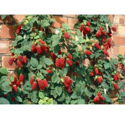 Rubus fruticosus ´Tayberry Buckingham´ / Malinoostružina, 20-30 cm, K11