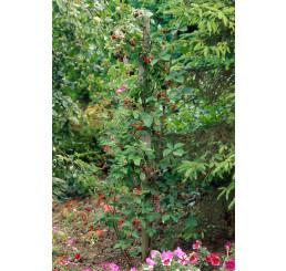 Rubus fruticosus ´Loch Ness´® / Ostružiník beztrný, K11