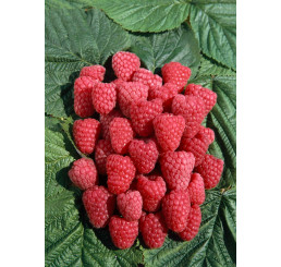 Rubus idaeus ´Polka´ / Červená malina, K9