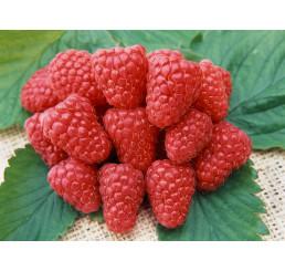 Rubus idaeus ´Heritage´ / Maliník červený, C2