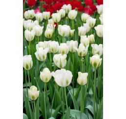 Tulipa ´Spring Green´ / Tulipán, bal. 5 ks, 11/12