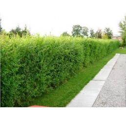 Ulmus pumila celer / Turkestánský jilm / Zázračný živý plot, bal. 10 ks, VK na živý plot