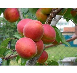 Prunus armeniaca ´Vesna´ / Meruňka, myr.