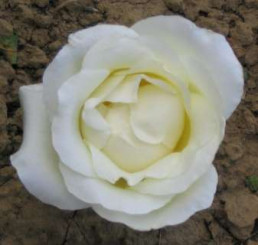 Rosa ´Climbing Virgo´ / Růže popínavá bílá, keř, BK