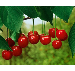 Prunus cerasus ´Favorit´ / Višeň, Colt