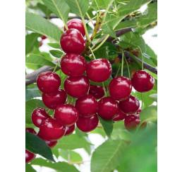 Prunus cerasus ´Nana´ / Višeň, Colt