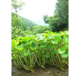 BIO Wasabia japonica / Wasabi / Japonský křen, K12