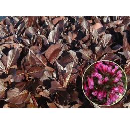 Weigela florida ´Alexandra´® / Vajgélie květnatá, 30-40 cm, C3