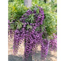 Wisteria sinensis ´Violacea Plena´ / Vistárie fialová, C2