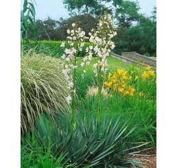 Yucca filamentosa / Juka vláknitá, K9/K13