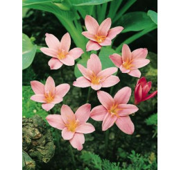 Zephyranthes robustus / Zefyrantes, bal. 10 ks, 6/7
