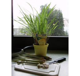 BIO Cymbopogon citratus / Citronová tráva, K12