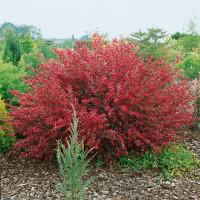Cytisus ´Boskoop Ruby´ / Čilimník červenožlutý, 25-30 cm, K9