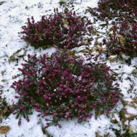 Erica darlayensis ´Kramers Rote´ / Vřesovec, K8