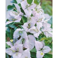 Bougainvilea glabra ´White´ / Bugénvilie bílá, K9