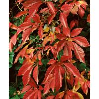 Parthenocissus quinquefolia / Přísavník pětilistý, 30-40 cm, K9