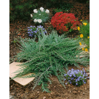 Juniperus horiz. ´Prince of Wales´ / Jalovec polehlý, 20-30 cm, C1,5