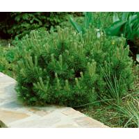 Pinus mugo ´Pumilio´ / Borovice kleč, 15-20 cm, K9