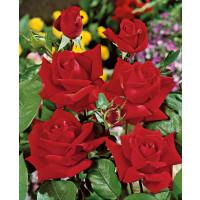 Rosa ´Sophia Loren´ / Růže čajohybrid červená, keř, BK