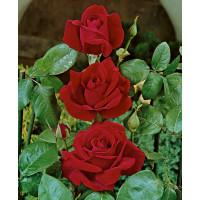 Rosa ´Chrysler Imperial´ / Růže čajohybrid tmavě červená, keř, BK