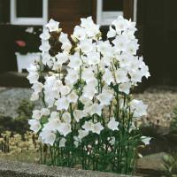 Campanula persicifolia ´Alba´ / Zvonek broskvolistý bílý, K9