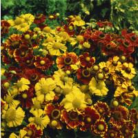 Helenium autumnale ´Yellow´/ Záplevák podzimní žlutý, C1,5