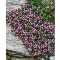 Thymus serpyllum / Mateřídouška úzkolistá, K9