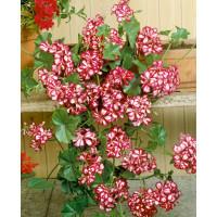 Pelargonium pelt. ´Mexicanerin´ / Muškát převislý, bal. 3 ks, 3xK7