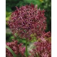 Allium christophii / Česnek okrasný, bal. 5 ks, 12/14